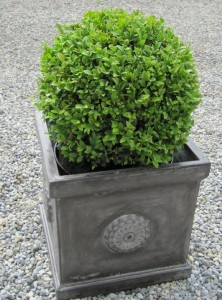 buxus sempervirens ball in pot gift